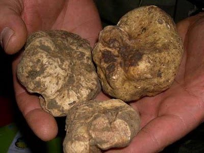 Italian White Alba Truffle 1 wine grapes u20 pinot noir pigato mendocino ligurian coast gamay beaujolais anderson valley 