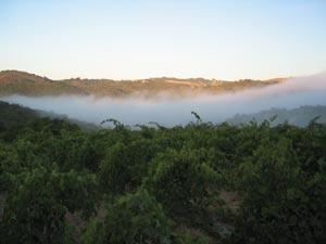 acv fog vineyard 9WEB wine grapes syrah spain santa rita hills santa barbara county rousanne pinot noir mourvedre marsanne grenache blanc grenache alta rioja