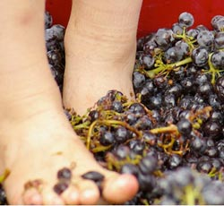 large winefeetWEB wine grapes