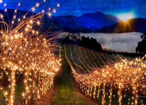 vineyard lights CROPWEB wine grapes u20 santa ynez santa barbara county pinot noir gruner veltliner dolcetto wine grapes burgundy austria